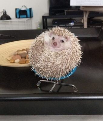 A hedgehog seated in a tiny chair.